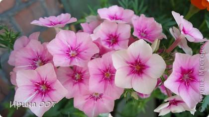 Наконец - то фото своих цветочков выкладываю. Приятного просмотра! фото 6