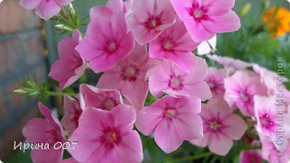 Наконец - то фото своих цветочков выкладываю. Приятного просмотра! фото 5