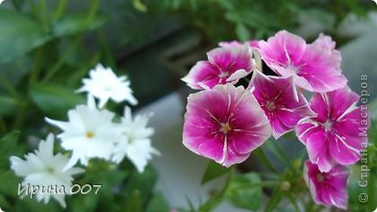 Наконец - то фото своих цветочков выкладываю. Приятного просмотра! фото 7