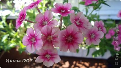 Наконец - то фото своих цветочков выкладываю. Приятного просмотра! фото 11
