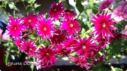 Наконец - то фото своих цветочков выкладываю. Приятного просмотра! фото 12