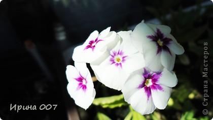 Наконец - то фото своих цветочков выкладываю. Приятного просмотра! фото 14