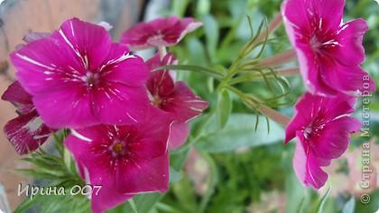 Наконец - то фото своих цветочков выкладываю. Приятного просмотра! фото 15
