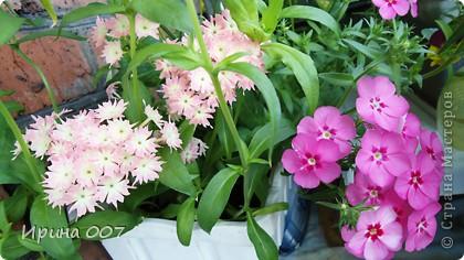 Наконец - то фото своих цветочков выкладываю. Приятного просмотра! фото 16