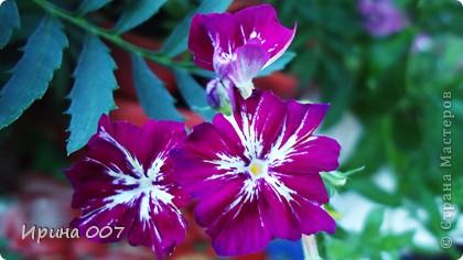 Наконец - то фото своих цветочков выкладываю. Приятного просмотра! фото 17