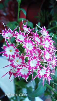 Наконец - то фото своих цветочков выкладываю. Приятного просмотра! фото 18