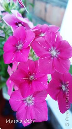 Наконец - то фото своих цветочков выкладываю. Приятного просмотра! фото 19