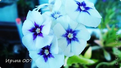 Наконец - то фото своих цветочков выкладываю. Приятного просмотра! фото 21