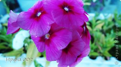 Наконец - то фото своих цветочков выкладываю. Приятного просмотра! фото 22