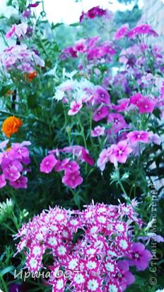 Наконец - то фото своих цветочков выкладываю. Приятного просмотра! фото 34