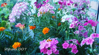 Наконец - то фото своих цветочков выкладываю. Приятного просмотра! фото 33