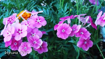 Наконец - то фото своих цветочков выкладываю. Приятного просмотра! фото 23