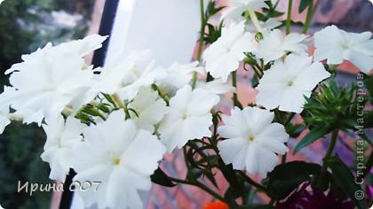 Наконец - то фото своих цветочков выкладываю. Приятного просмотра! фото 25