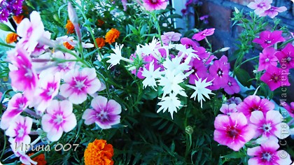 Наконец - то фото своих цветочков выкладываю. Приятного просмотра! фото 29