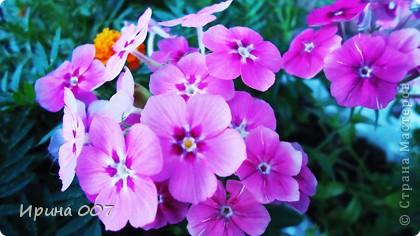 Наконец - то фото своих цветочков выкладываю. Приятного просмотра! фото 27