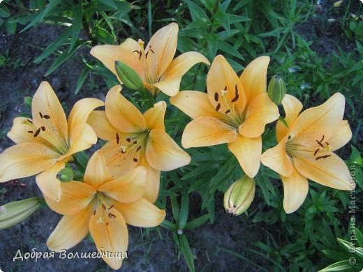 Летом моим вдохновением являются цветы. Ожидание, когда распустится первый бутон, весьма трепетное. Хочу поделиться своими восторгами. фото 5