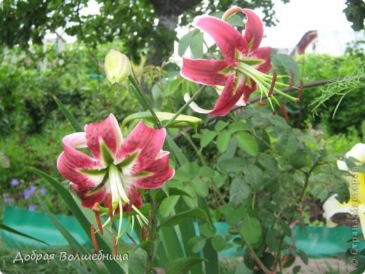 Летом моим вдохновением являются цветы. Ожидание, когда распустится первый бутон, весьма трепетное. Хочу поделиться своими восторгами. фото 12