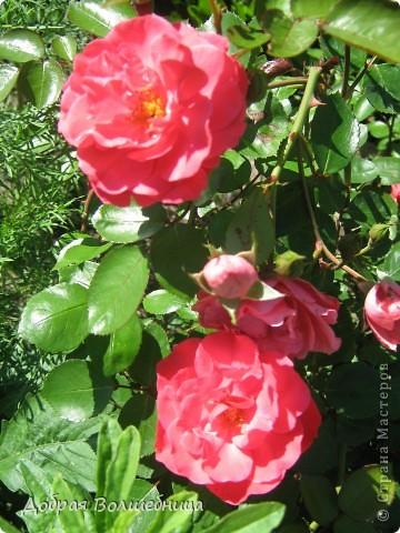 Летом моим вдохновением являются цветы. Ожидание, когда распустится первый бутон, весьма трепетное. Хочу поделиться своими восторгами. фото 2