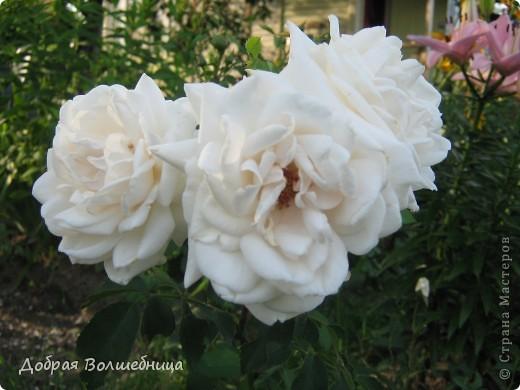 Летом моим вдохновением являются цветы. Ожидание, когда распустится первый бутон, весьма трепетное. Хочу поделиться своими восторгами. фото 3