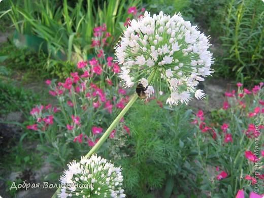 Летом моим вдохновением являются цветы. Ожидание, когда распустится первый бутон, весьма трепетное. Хочу поделиться своими восторгами. фото 13