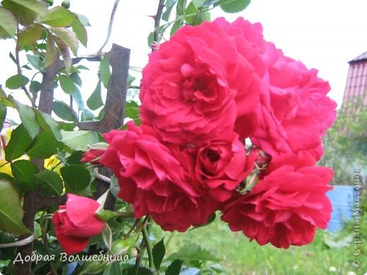 Летом моим вдохновением являются цветы. Ожидание, когда распустится первый бутон, весьма трепетное. Хочу поделиться своими восторгами. фото 4