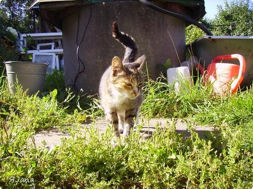 Знакомьтесь! Это наша кошка Мурка. Год назад она была ещё дикой, жила у нас в сарае и приходила только, чтобы попросить еды. фото 2