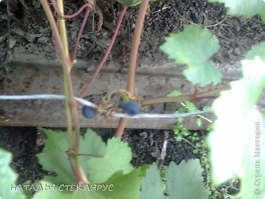 В сибири весна и лето суровы-вот и приходится бахчевым под акриловой пленкой рости и наливаться. Это наш самый большой арбуз-31см его длина. Нежится на солнышке в окружении собратьев помельче и дынь. фото 3