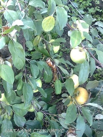 В сибири весна и лето суровы-вот и приходится бахчевым под акриловой пленкой рости и наливаться. Это наш самый большой арбуз-31см его длина. Нежится на солнышке в окружении собратьев помельче и дынь. фото 8