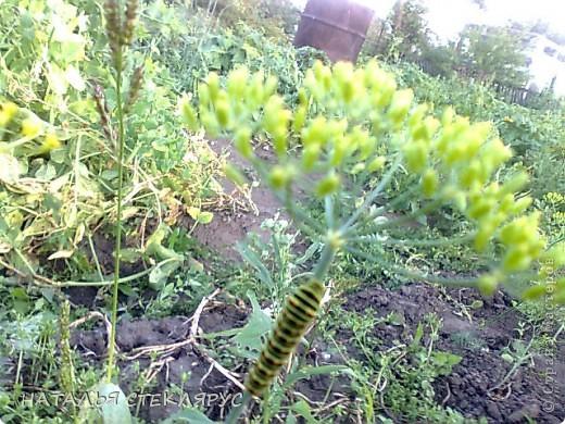 В сибири весна и лето суровы-вот и приходится бахчевым под акриловой пленкой рости и наливаться. Это наш самый большой арбуз-31см его длина. Нежится на солнышке в окружении собратьев помельче и дынь. фото 12