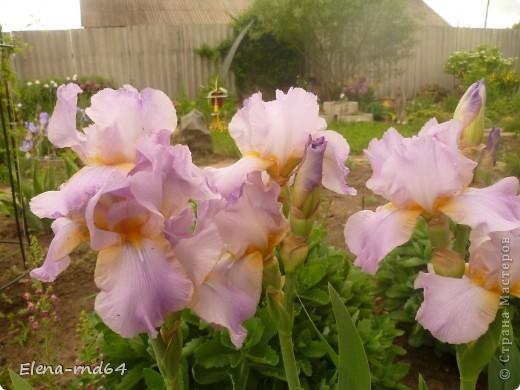 После ужасающе жаркого июля половина сада стоит в плачевном состоянии,вот и приходится смотреть на бушующие цветом и жизнью ирисы только на фото... фото 1
