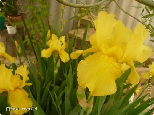 После ужасающе жаркого июля половина сада стоит в плачевном состоянии,вот и приходится смотреть на бушующие цветом и жизнью ирисы только на фото... фото 17