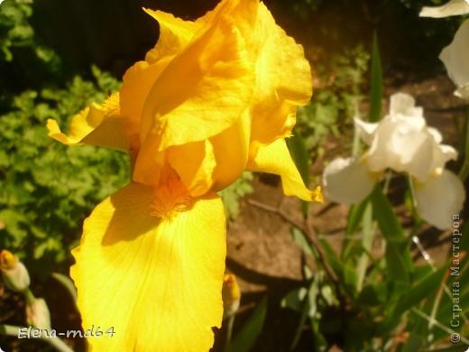 После ужасающе жаркого июля половина сада стоит в плачевном состоянии,вот и приходится смотреть на бушующие цветом и жизнью ирисы только на фото... фото 16