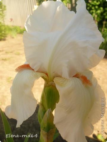 После ужасающе жаркого июля половина сада стоит в плачевном состоянии,вот и приходится смотреть на бушующие цветом и жизнью ирисы только на фото... фото 11