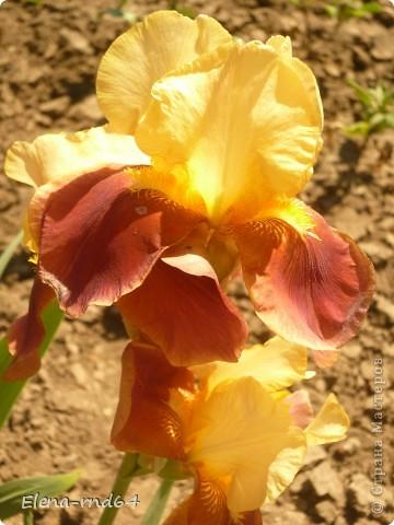 После ужасающе жаркого июля половина сада стоит в плачевном состоянии,вот и приходится смотреть на бушующие цветом и жизнью ирисы только на фото... фото 12