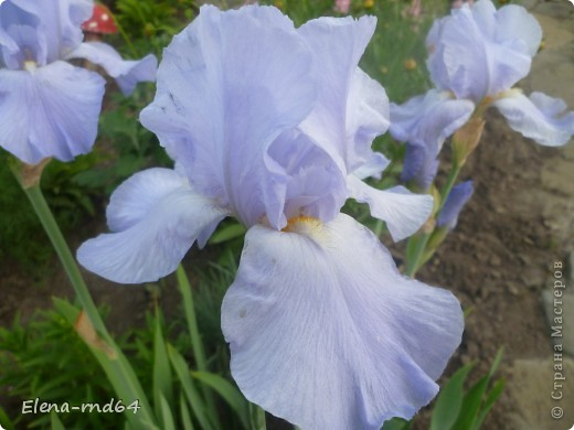 После ужасающе жаркого июля половина сада стоит в плачевном состоянии,вот и приходится смотреть на бушующие цветом и жизнью ирисы только на фото... фото 13