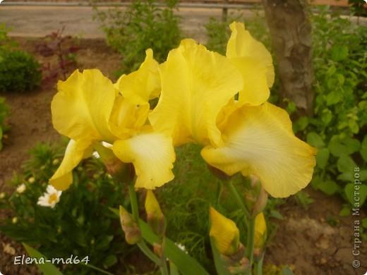 После ужасающе жаркого июля половина сада стоит в плачевном состоянии,вот и приходится смотреть на бушующие цветом и жизнью ирисы только на фото... фото 2
