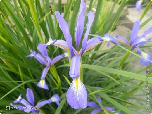 После ужасающе жаркого июля половина сада стоит в плачевном состоянии,вот и приходится смотреть на бушующие цветом и жизнью ирисы только на фото... фото 14