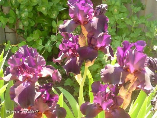 После ужасающе жаркого июля половина сада стоит в плачевном состоянии,вот и приходится смотреть на бушующие цветом и жизнью ирисы только на фото... фото 15