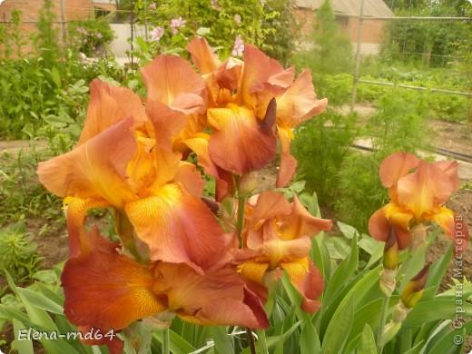 После ужасающе жаркого июля половина сада стоит в плачевном состоянии,вот и приходится смотреть на бушующие цветом и жизнью ирисы только на фото... фото 4