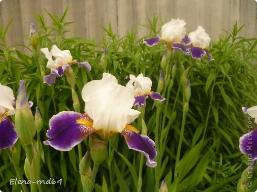 После ужасающе жаркого июля половина сада стоит в плачевном состоянии,вот и приходится смотреть на бушующие цветом и жизнью ирисы только на фото... фото 7