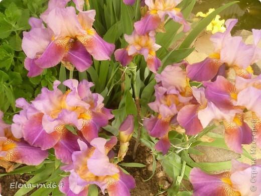После ужасающе жаркого июля половина сада стоит в плачевном состоянии,вот и приходится смотреть на бушующие цветом и жизнью ирисы только на фото... фото 9