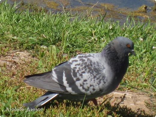 Знакомьтесь,это он - главный герой моего рассказа о большой и удивительной любви голубя и голубки. фото 2