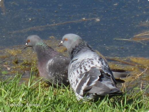 Знакомьтесь,это он - главный герой моего рассказа о большой и удивительной любви голубя и голубки. фото 17