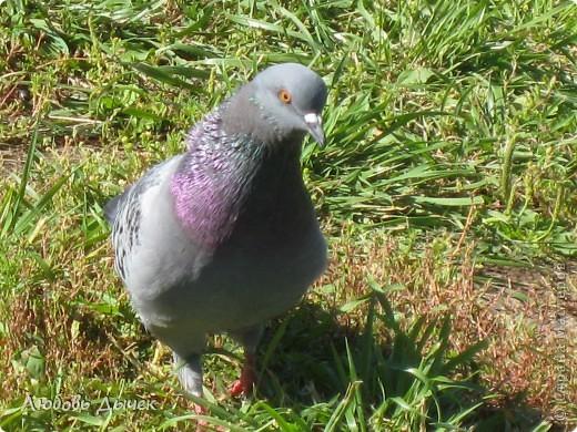 Знакомьтесь,это он - главный герой моего рассказа о большой и удивительной любви голубя и голубки. фото 3