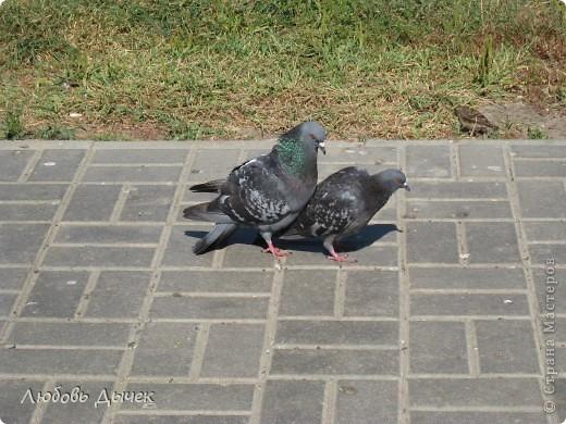 Знакомьтесь,это он - главный герой моего рассказа о большой и удивительной любви голубя и голубки. фото 18