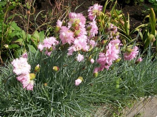 Садовая гвоздика фото 1