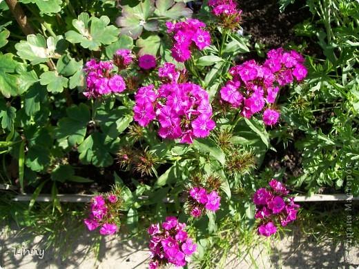 Садовая гвоздика фото 2