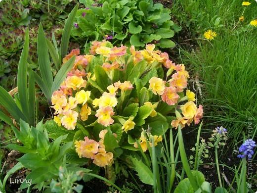 Садовая гвоздика фото 12