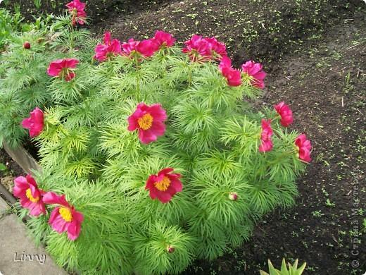 Садовая гвоздика фото 13