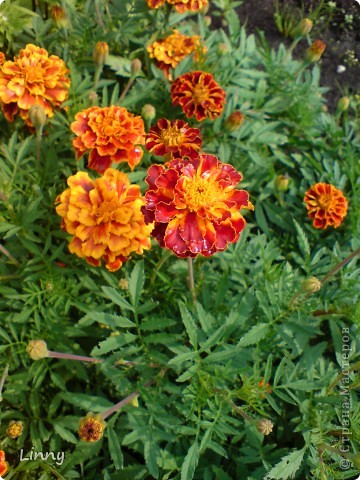 Садовая гвоздика фото 11
